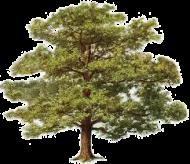 Tree_Oak